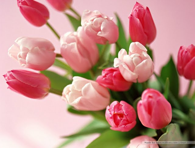 flowers-of-elegance-pink-and-red-tulips-bouquet-tulip-flowers-flower640-x-486-32-kb-jpeg-x